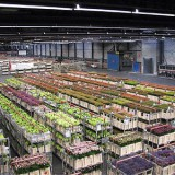 Aalsmeer-Flower-Auction