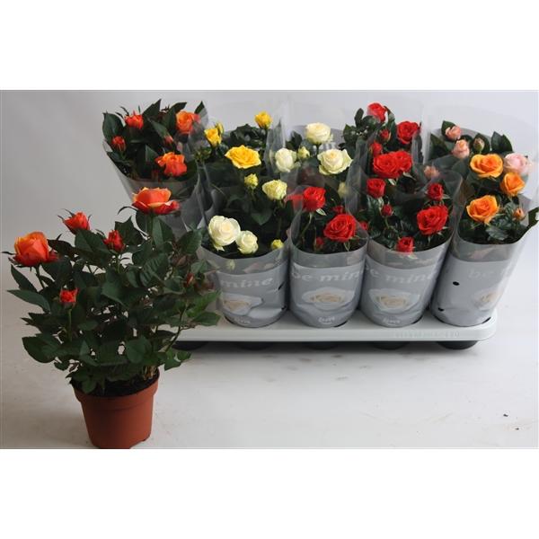 roseplant4